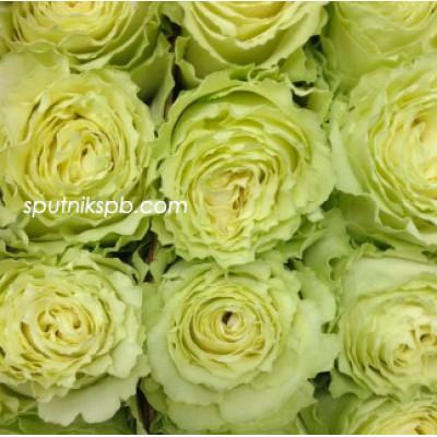 Роза Lemonade