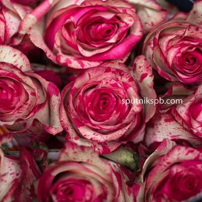 Роза Magic Times