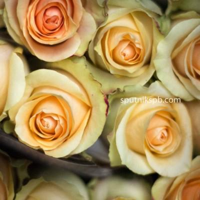 Роза Nectarine