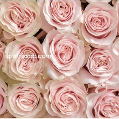 Роза Pink Mondial