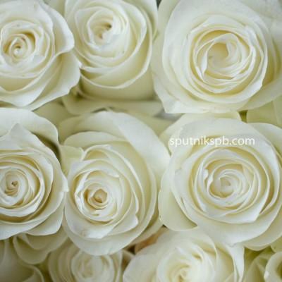 Роза Прауд | Proud Rose