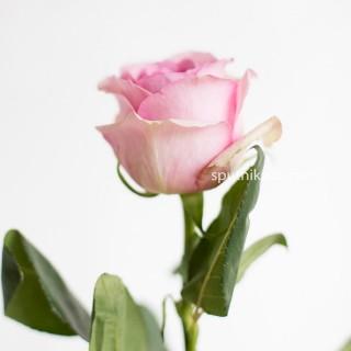 !ХИТ! Роза Сага | Saga Rose