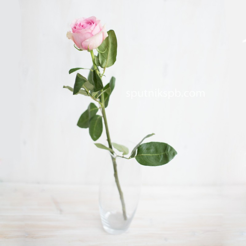 Купить розы Сага оптом в СПб