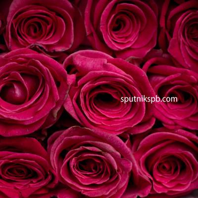 Роза Verdi