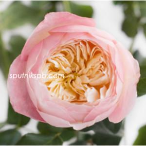 Роза пионовидная Констанс Дэвид Остин | Constance David Austin Rose