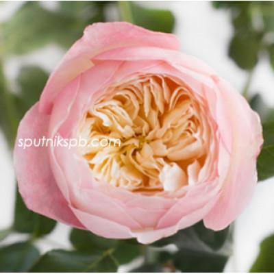 Роза пионовидная Constance David Austin