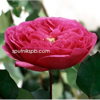 Роза пионовидная Baronesse