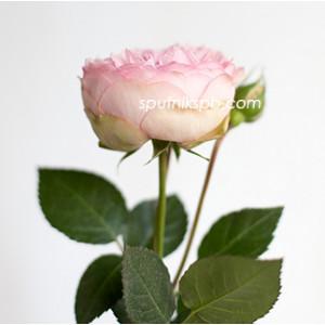 Роза пионовидная Брайдал Пиано | Bridal Piano Rose