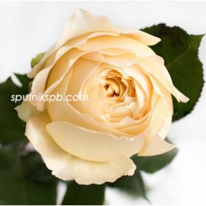 Роза пионовидная Карамель Антик | Caramel Antike Rose