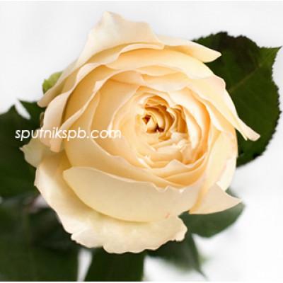 Роза пионовидная Caramel Antike