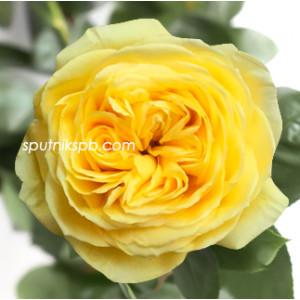 Роза пионовидная Catalina