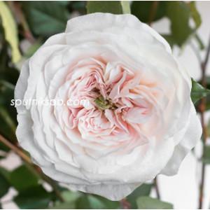 Роза пионовидная Charity David Austin
