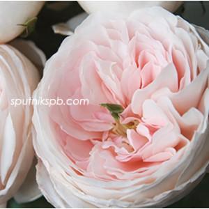 Роза пионовидная Чарити Дэвид Остин | Charity David Austin Rose