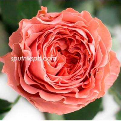Роза пионовидная Coral Expression