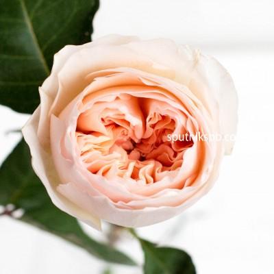 Роза Пионовидная DAVID AUSTIN JULIET