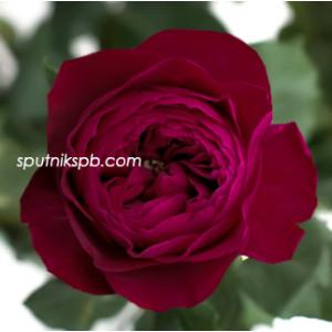 Роза пионовидная Дарси Дэвид Остин | Darcey David Austin Rose