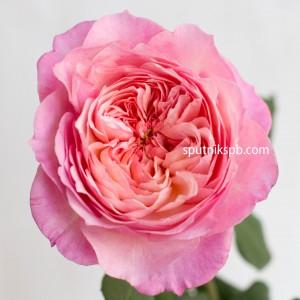 Роза пионовидная David Austin Сonstance