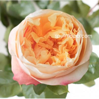 Роза пионовидная Edith David Austin