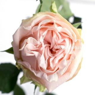 Роза садовая Garden Spirit