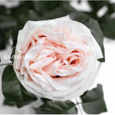 Роза пионовидная Garden Spirit