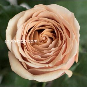 Роза пионовидная Голден Мустард | Golden Mustard Rose