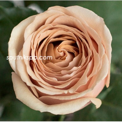 Роза пионовидная Golden Mustard