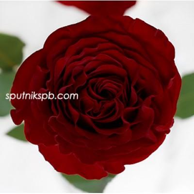 Роза пионовидная Hearts