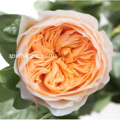 Роза пионовидная Juliet David Austin