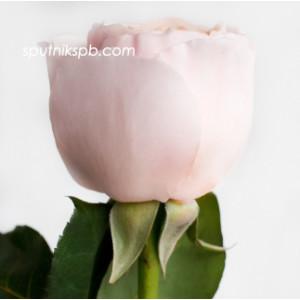 Роза пионовидная Джульет Дэвид Остин | Juliet David Austin Rose