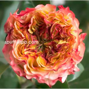 Роза пионовидная Кабанна | Kabanna Rose
