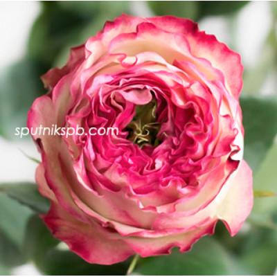 Роза пионовидная Karen