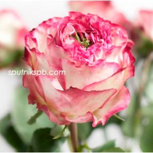 Роза пионовидная Карен | Karen Rose