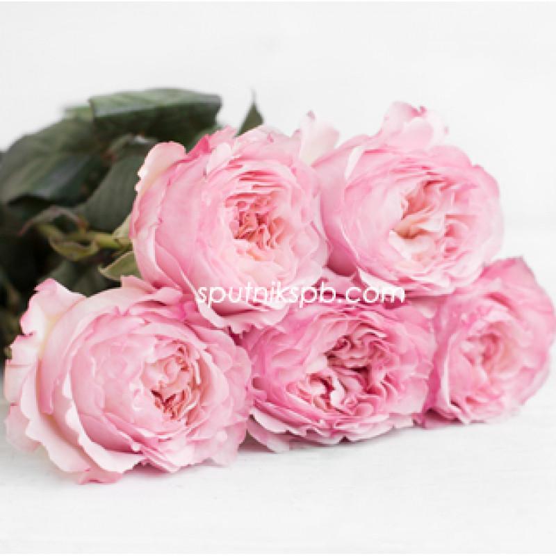 Роза пионовидная Keira David Austin