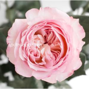 Роза пионовидная Кейра Дэвид Остин | Keira David Austin Rose