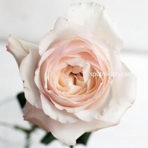 Роза Пионовидная David Austin Keira