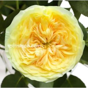 Роза пионовидная Лемон Помпон | Lemon Pompon Rose