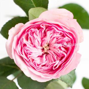 Роза Пионовидная Maria Theresa