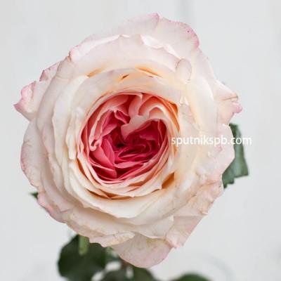Роза пионовидная Mayra Bridal Pink