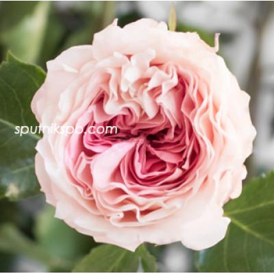 Роза пионовидная Mayra's Bridal Pink