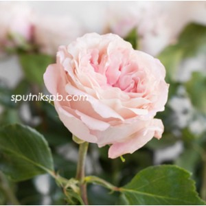 Роза пионовидная Майра Брайдл Пинк | Mayra's Bridal Pink Rose