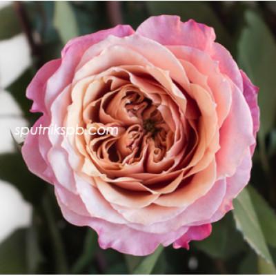 Роза пионовидная Miyabi