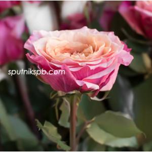 Роза пионовидная Мияби | Miyabi Rose