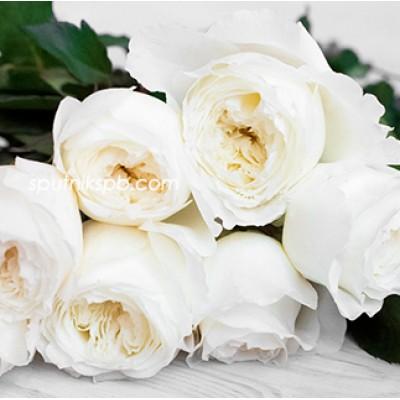 Роза пионовидная Patience David Austin