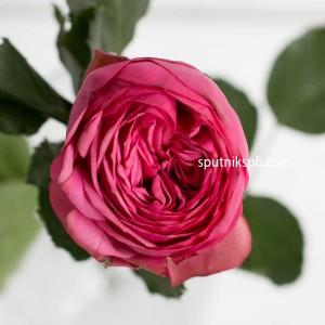 Роза Пионовидная Piano Pink