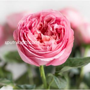 Роза пионовидная Пинк Экспрешн | Pink Expression Rose