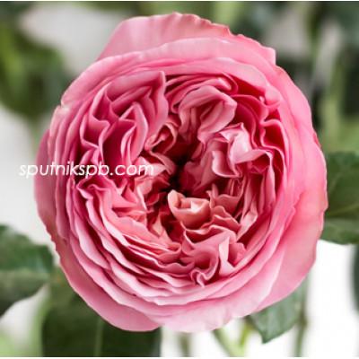 Роза пионовидная Pink Expression