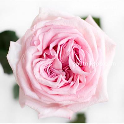 Роза пионовидная Pink O`Hara