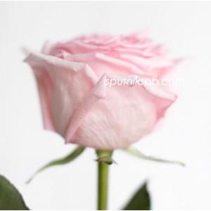 Роза пионовидная Пинк Охара | Pink O`Hara Rose