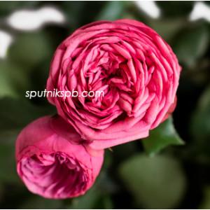 Роза пионовидная Пинк Пиано | Pink Piano Rose