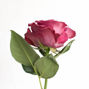 Роза пионовидная Прешес Моментс | Precious Moments Rose